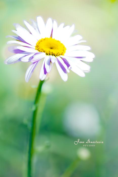 _JAS6768-WEB-Daisy