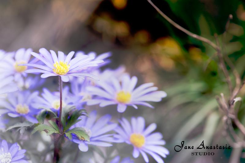 _JAS3975-PSD-Spring-anemones-2