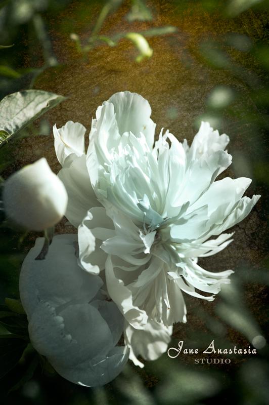_JAS2078-WEB-White-Peony